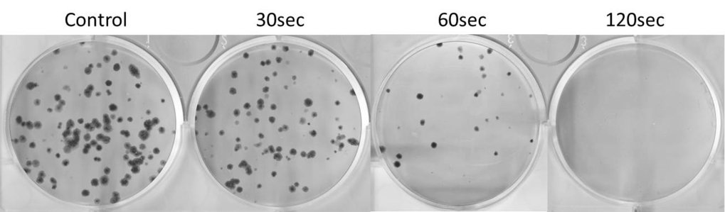 Cell culture dishes with tumour cells, which were treated with CAP. From left: control dish (no treatment), 30 seconds, 60 seconds and 120 seconds application of CAP.